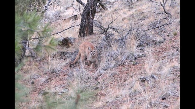 Should ODFW increase efforts to trap cougars within city limits?
