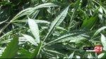 Should marijuana producers pay transportation system fees?