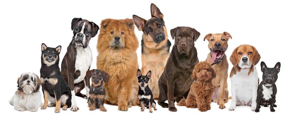 WHAT KIND OF DOG SHOULD TRUMP GET?