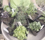 Will you be planting any herbs in your garden?
