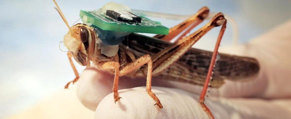 Bomb-sniffing cyborg locusts can successfully detect explosives