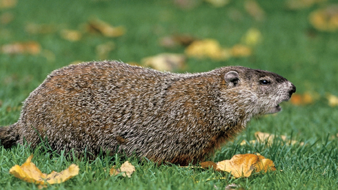 Will the groundhog see his shadow on Groundhog Day, February 2nd?