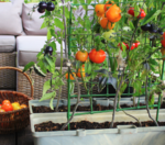 Do you have a garden where you grow your own food?