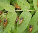 Has your neighborhood been infested with cicadas?