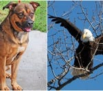 Would you rather have the keen hearing of a dog or the sharp vision of an eagle?